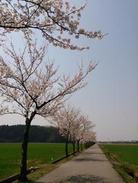 Sakura201404